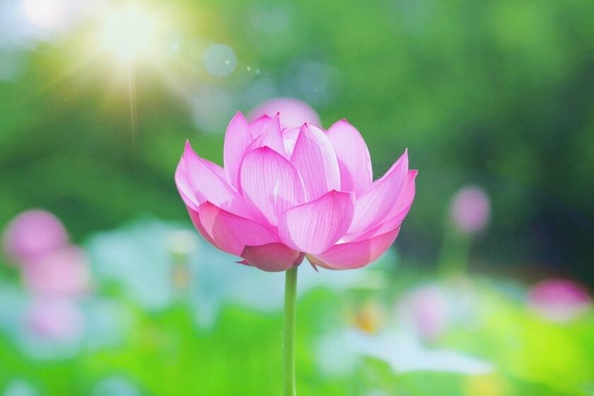 ピンクのハスの花