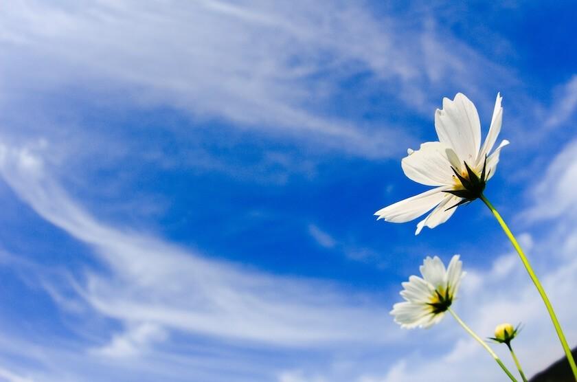 青い空に白いコスモス
